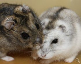 Pin By Integrated Dna Technologies On Molecular Biology Siberian Hamster Hamster Cute Animals