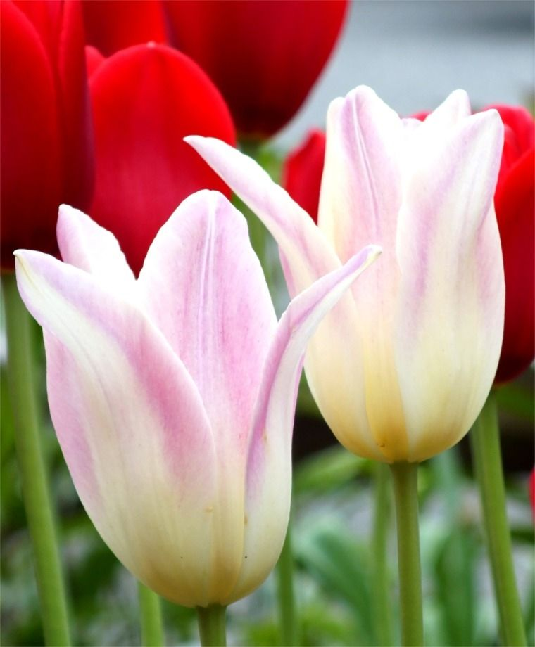 Tulip elegant lady lily flowering tulips tulips for Tulipe bulbe