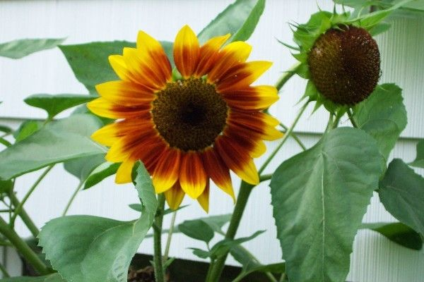 Instructions For Growing Sunflowers Seperated By Variety Produces