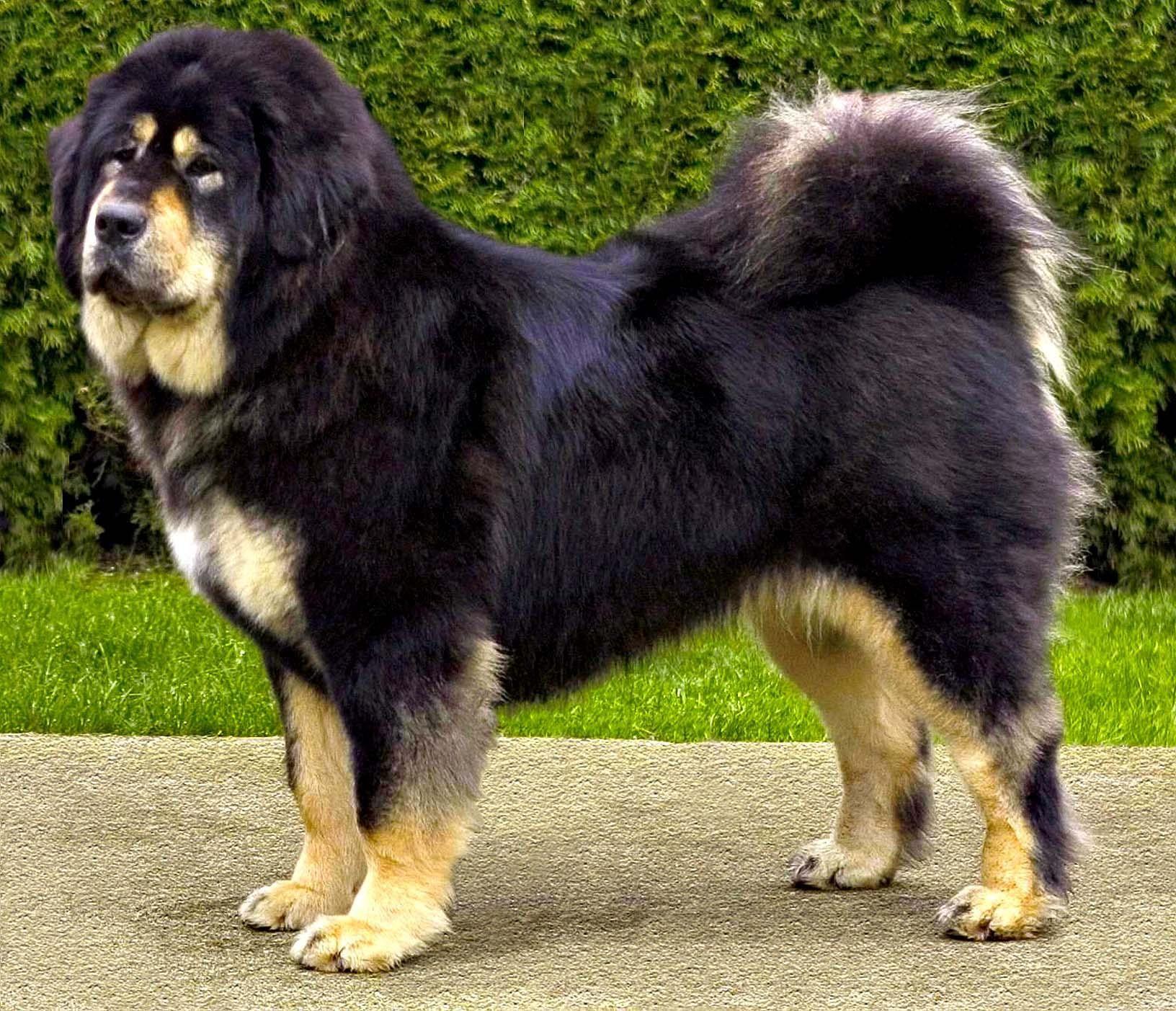Beautiful Tibetan Mastiff Dog Photo And