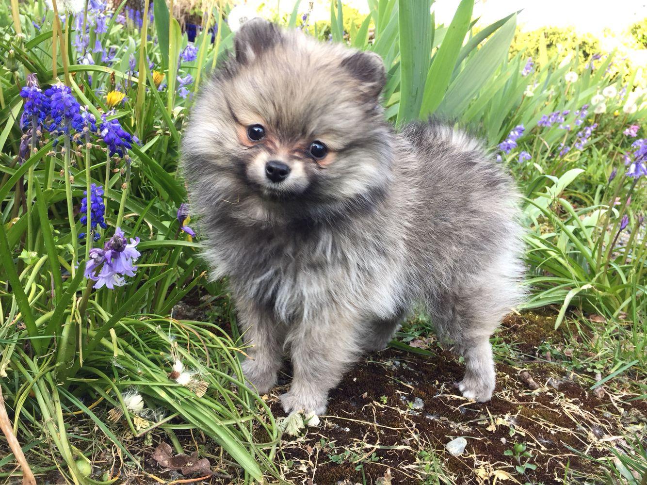 Cute Cream Wolf Sable Pomeranian Puppy Pomeranian Puppy