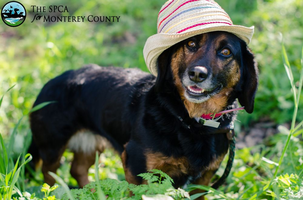 Jill Is A Wonderful 4 Year Old Standard Dachshund Looking For A