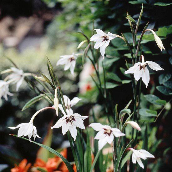 The Best Summer Bulbs Summer Bulbs Summer Flowering Bulbs Summer Flowers