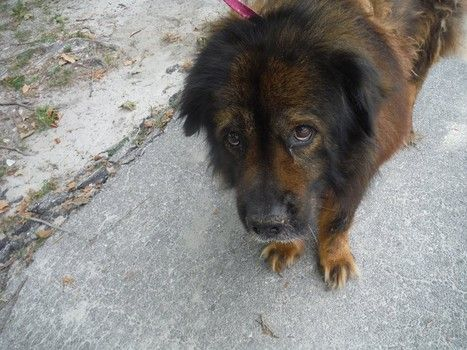 Senior Chow Chow Dumped In A Florida Shelter Drop Box By Heartless