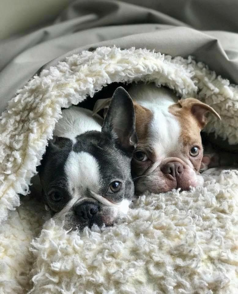 Everything About Small Boston Terrier Temperament