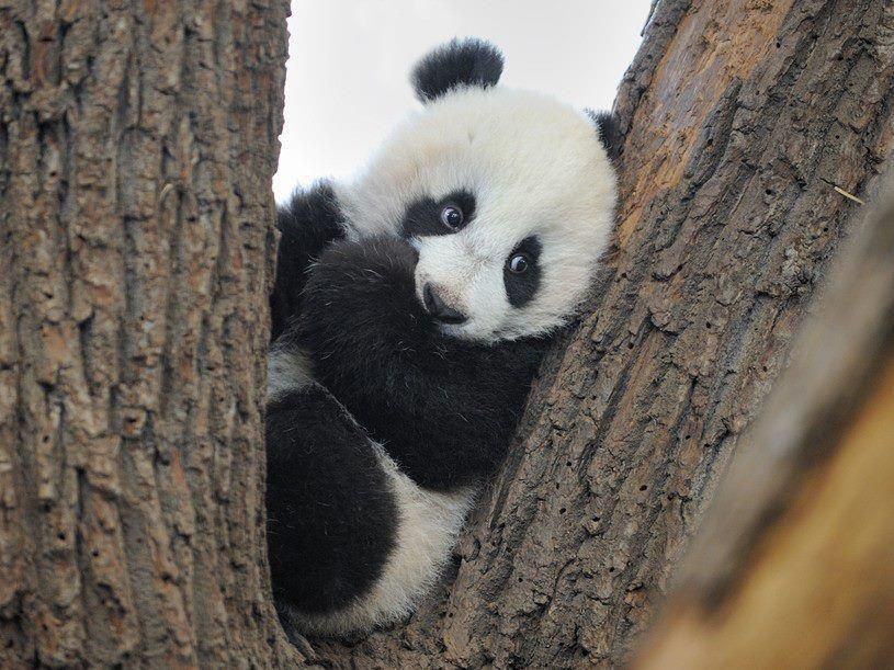 I wish baby pandas were for sale.. I would need this cutie ...