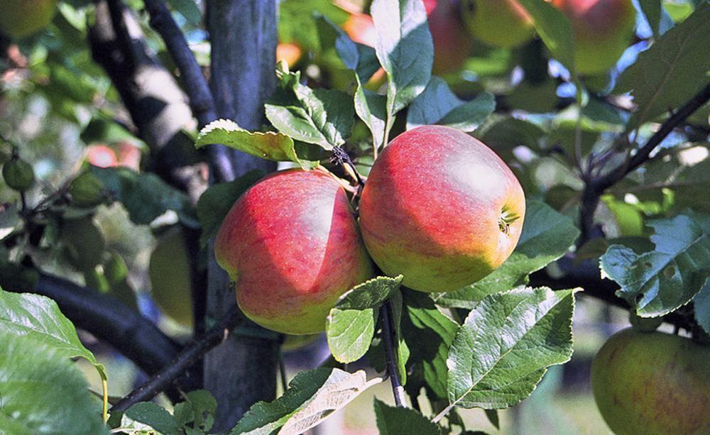 Obstbaumschulen bieten ihre Bäume und Sträucher oft wurzelnackt an. Wir zeigen Ihnen, was zu beachten ist, wenn Sie einen Apfelbaum ohne Erdballen pflanzen.