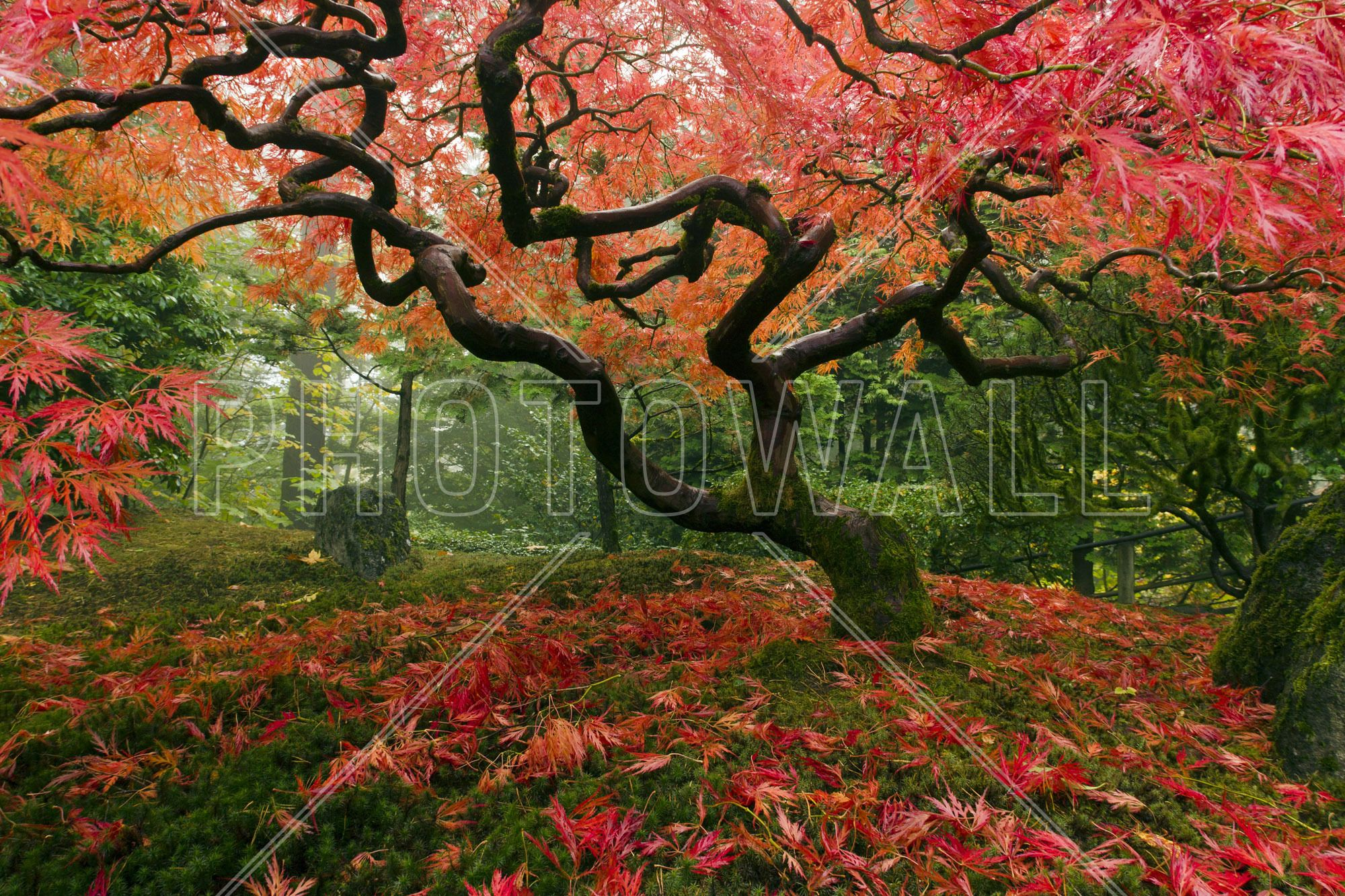 Japanischer Ahorn Wallpaper Japanese Maple Tree Wall Mural Photo Wallpaper Photowall