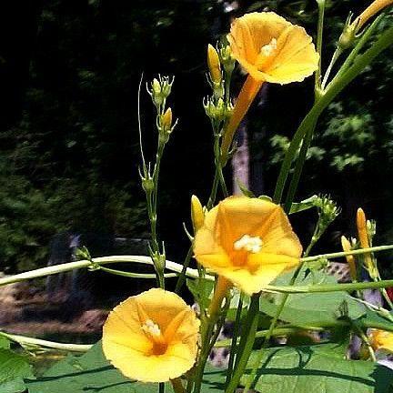 Ipomoea hederifolia lutea yellow morning glory these things i ipomoea hederifolia lutea yellow morning glory mightylinksfo