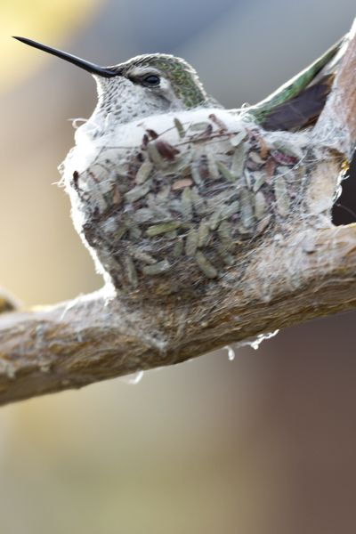 Tiny, devoted Momma – On image of hummingbird in her tiny, walnut-sized nest taken in Arizona by Florence McGinn -- Enjoy the Pinterest Learning Tips board at http://pinterest.com/fmcginn/education-learning-tips/