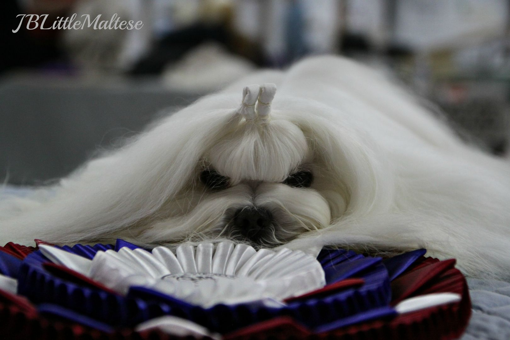 Purebred Canadian Maltese Jblittlemaltese Reg D Is The Home Of Multiple Canadian Champion Maltese Offering Maltese Puppy Maltese Breed Teacup Puppies Maltese