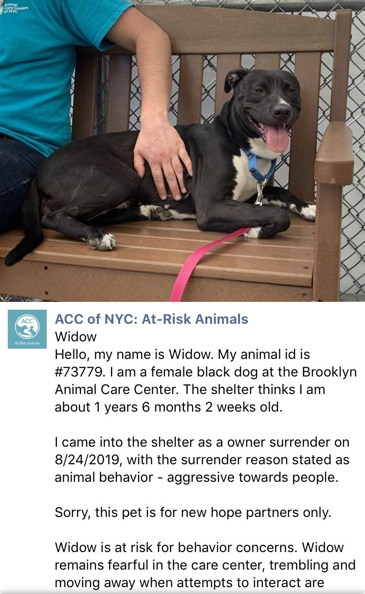 Stop The Madness Precious Innocent Widow Listed To Die 9 10 19 At The Dreaded High Kill Center Nyc Acc Ij2 Staten Island New York Dog Fighting Dogs