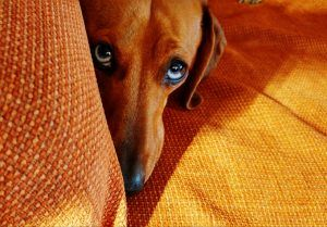 Dogspeak Dogs And The Guilty Look Dog Facts Guilty Dog Pet Advice