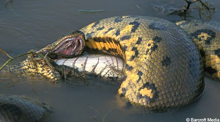 Giant Anacondas Eating Crocodiles And Other Creatures With Images