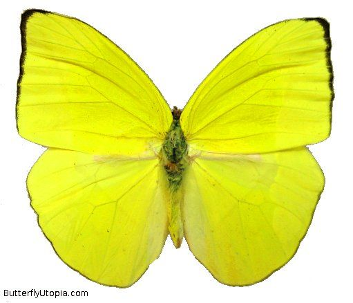 items that are the color yellow | Phoebis trite yellow butterfly pictures, photos, picture, photo
