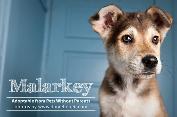 Malarkey Is Adoptable From Www Petswithoutparents Net In Columbus Ohio Puppy Rescue Shelter Dog Dog Adoption Dogs Pets