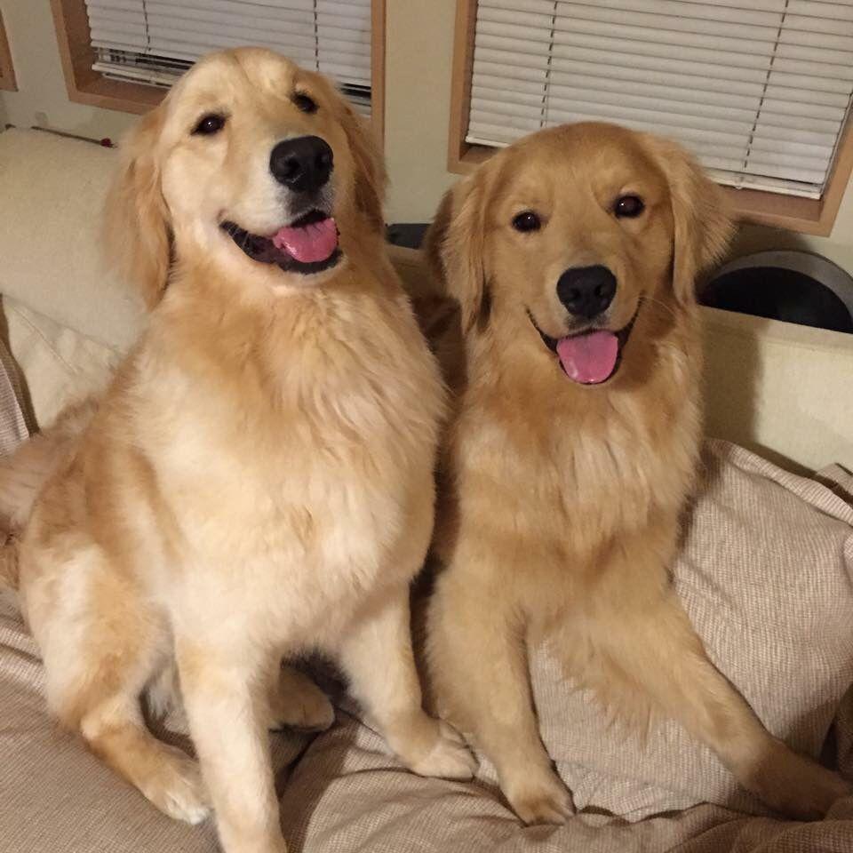 So Pretty Golden Retrievers Are So Loving Happy Steady Smart