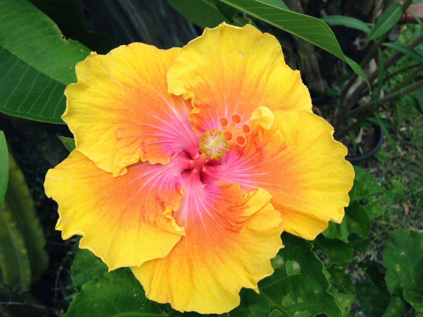 Florez Nursery: Hibiscus