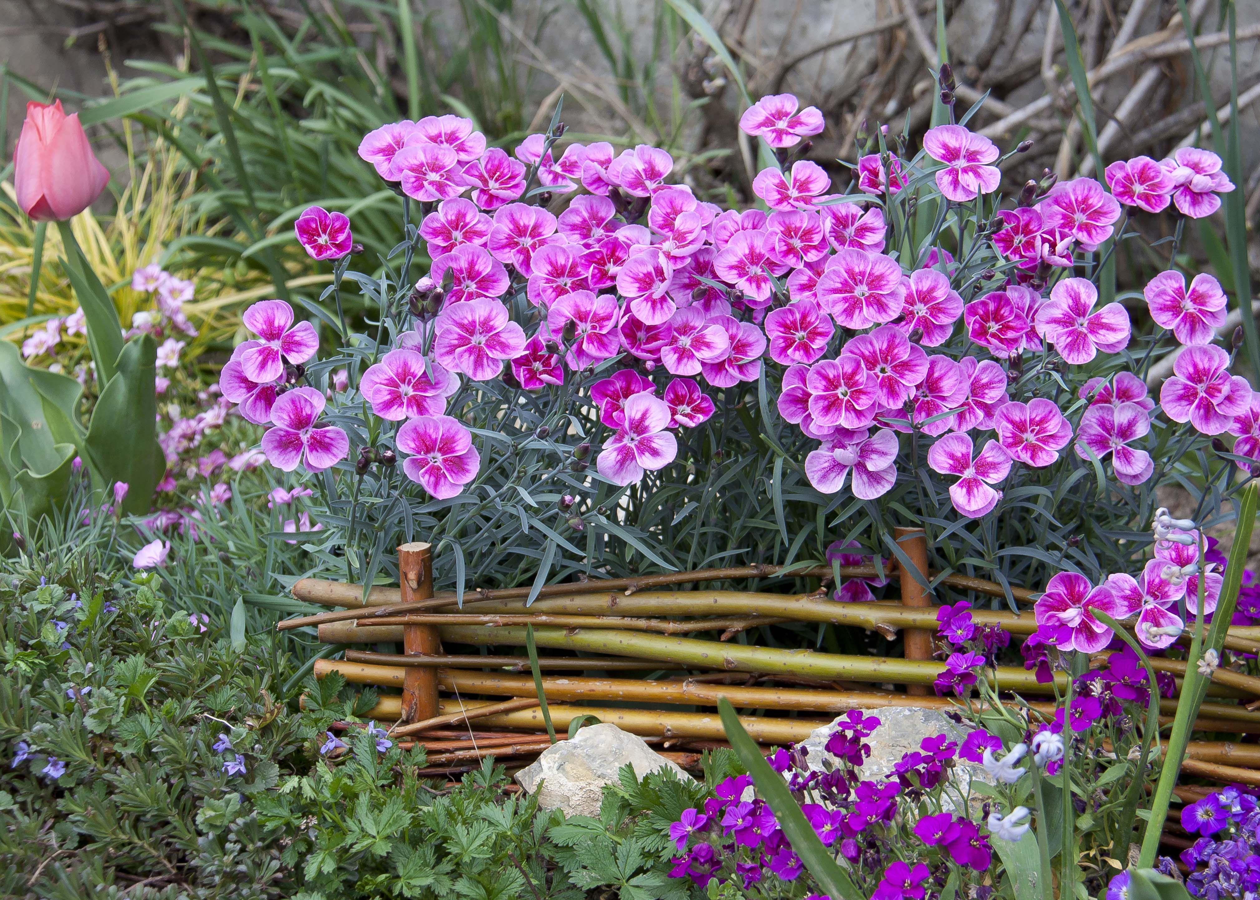 Pinke Nelken Im Beet 1000gutegruende Nelken Pink Fruhlingsgarten Nelken Blumen