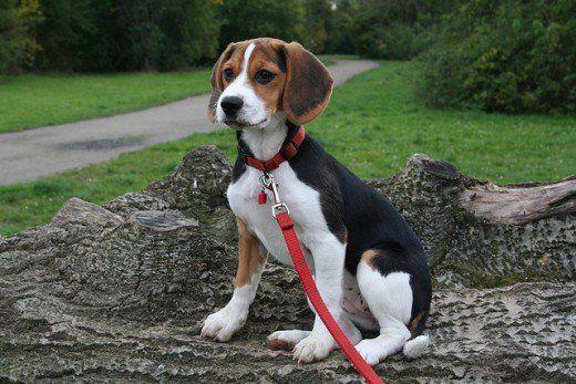 Five Dog Breeds With The Longest Life Expectancy Beagle Dog Dog