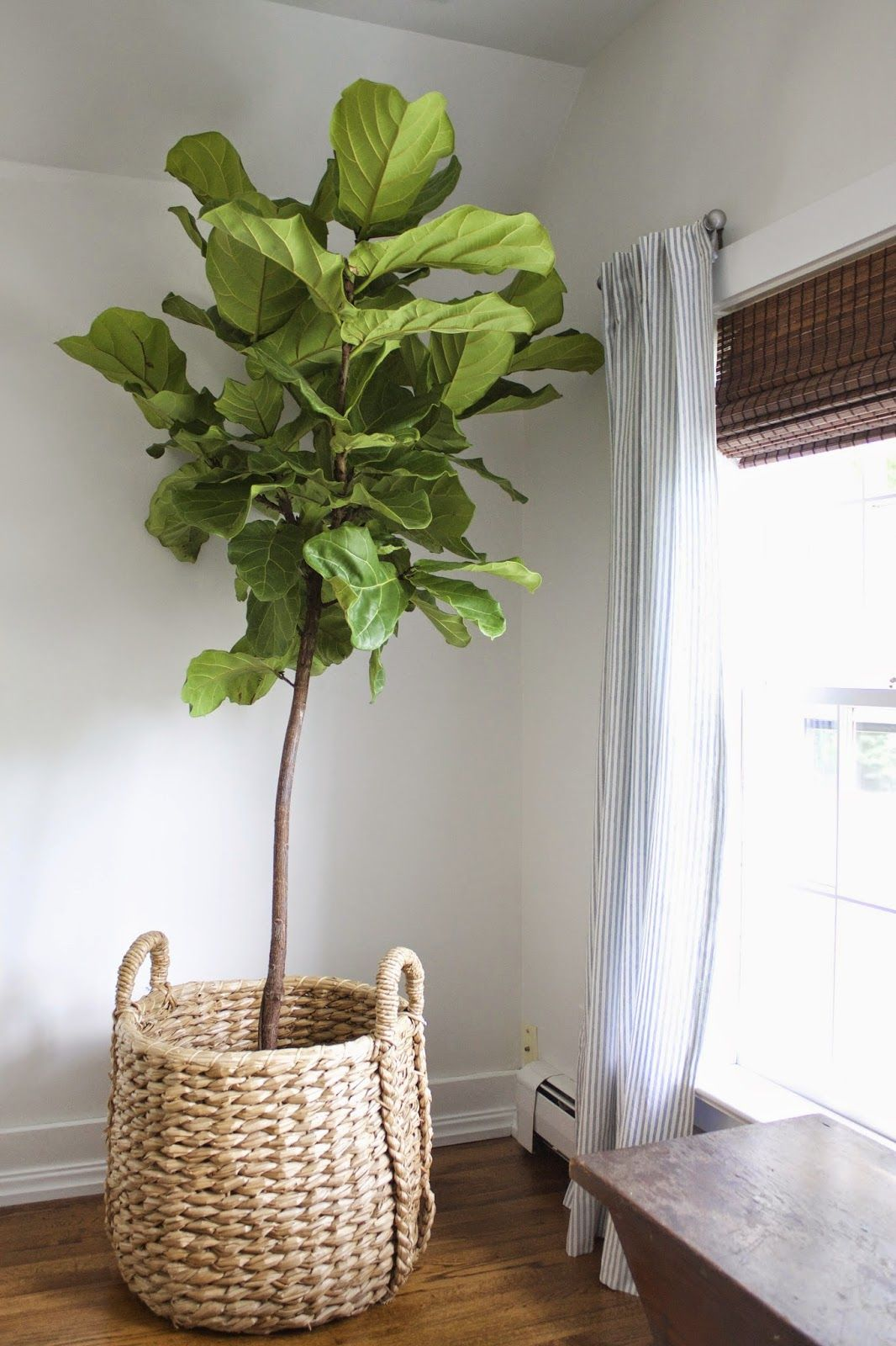 fiddle leaf fig tree in basket - need a decent sized plant like this ...