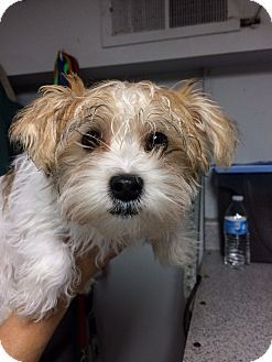 Pictures Of Jesse A Cairn Terrier Yorkie Yorkshire Terrier Mix