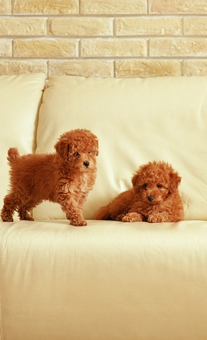 Beautiful Cute Fluffy Puppies Hd Pictures Hd Backgrounds