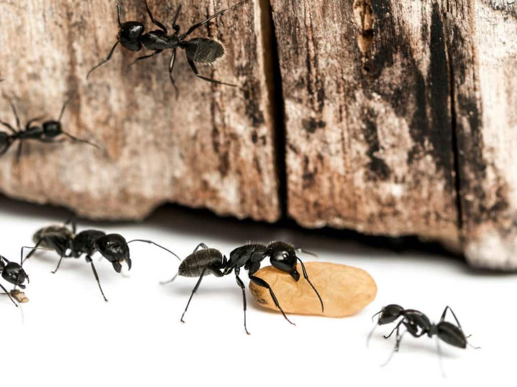 Hausmittel Gegen Ameisen Haushaltsfee Org Ameisen Im Haus Ameisen Ameisen Loswerden