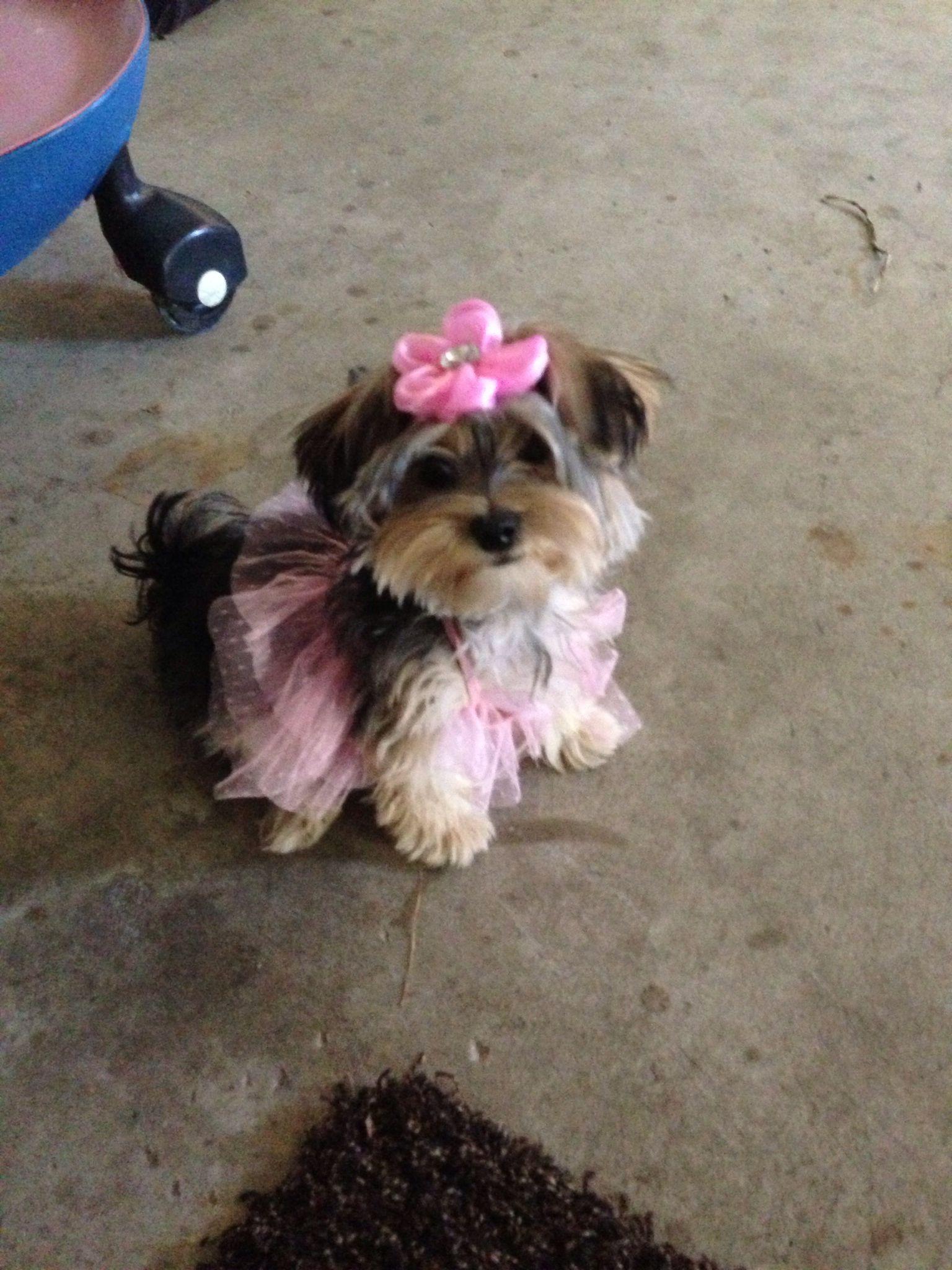 Our Morkie In A Tutu Morkie Poodle Puppy Dog Tutu