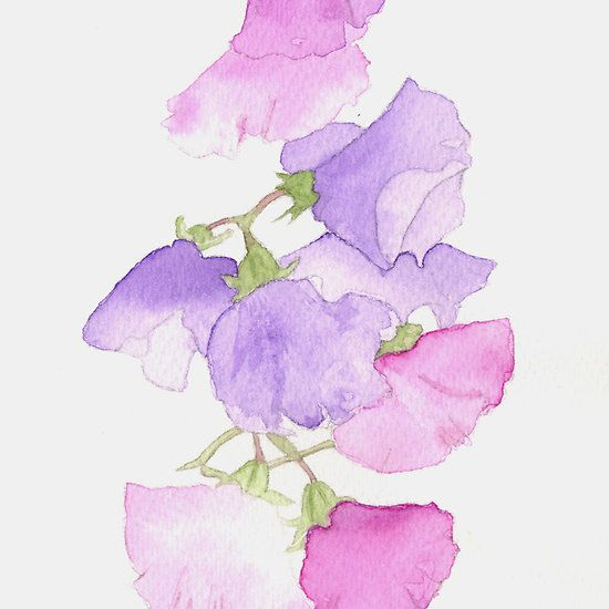 Cascade Sweet Pea Watercolour Flower Painting Watercolor
