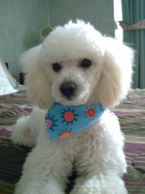 A Couple Weeks Back My Sister Thought My Puppy Was Going To Die Now I M Younger Than Her But That Doesn T Mean She Needs Cute Animals Poodle Sister Thoughts