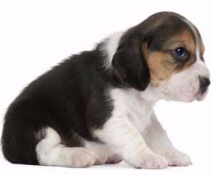 Beagle Newborn Puppy Baby Beagle Beagle Newborn Puppies