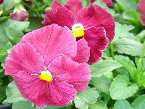 Pansy Delta Rose Amor Perfeito