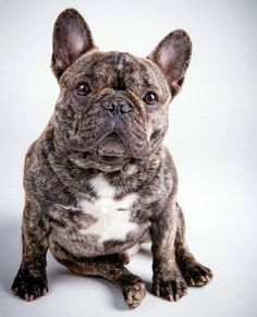 French Bulldog Brindle French Bulldog French Bulldog Puppies