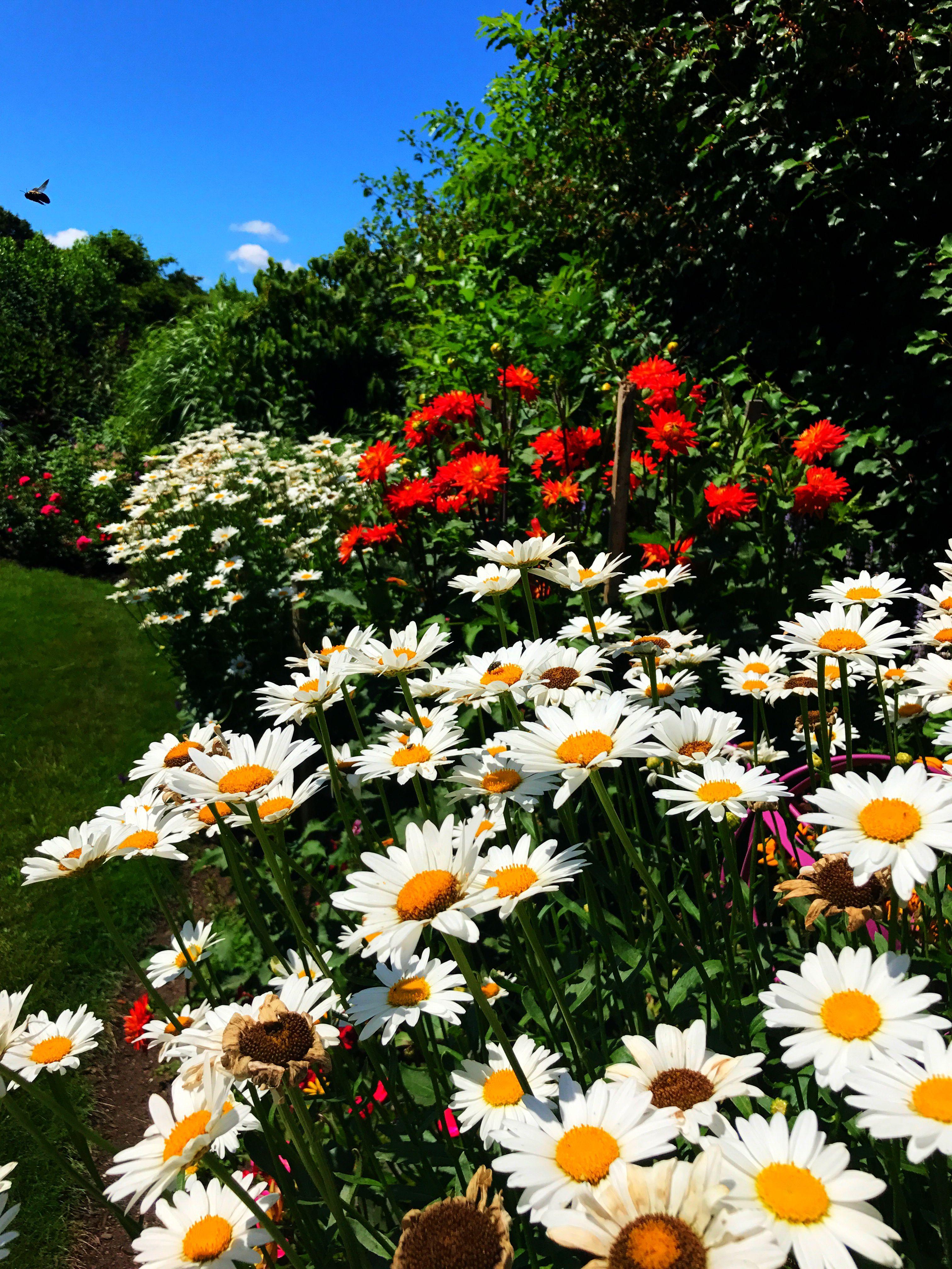The Summer Garden. Shasta Daisy's, Dahlias And A Bumble