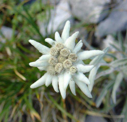 *Exotic Beautiful* Edelweiss Leontonpodium Seeds
