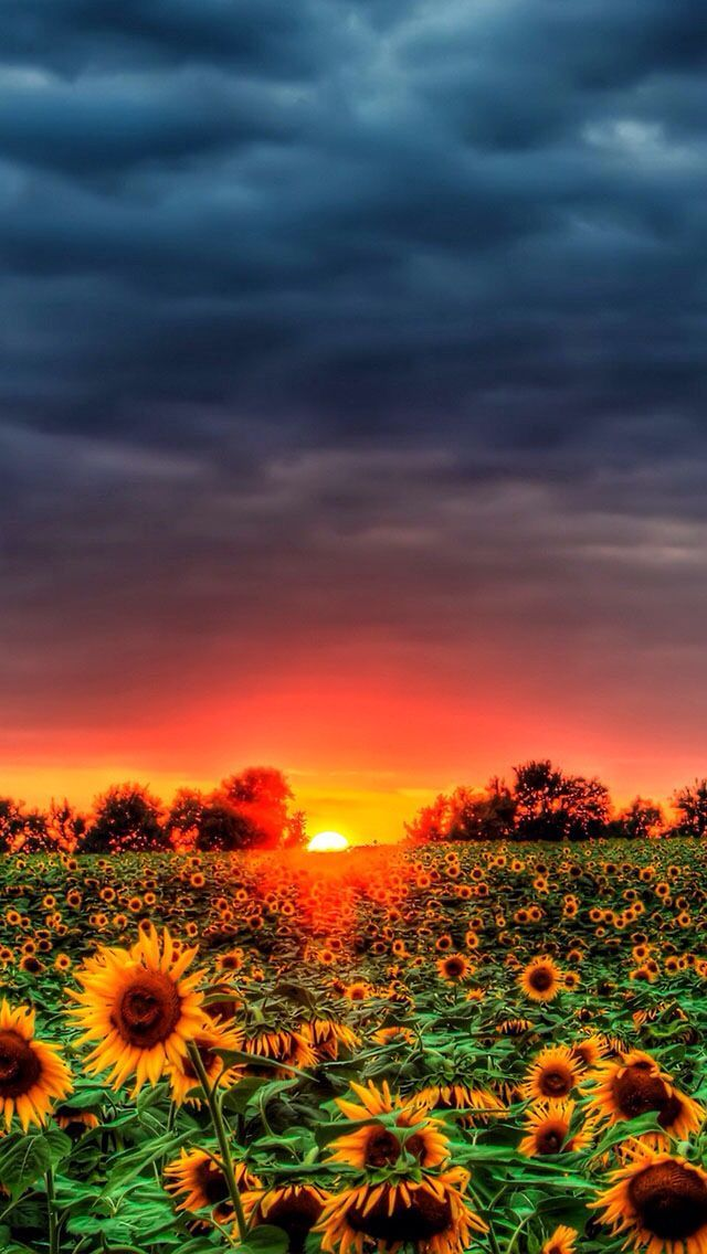 Carpe Diem Vividly Verdant Sunflower Wallpaper Beautiful