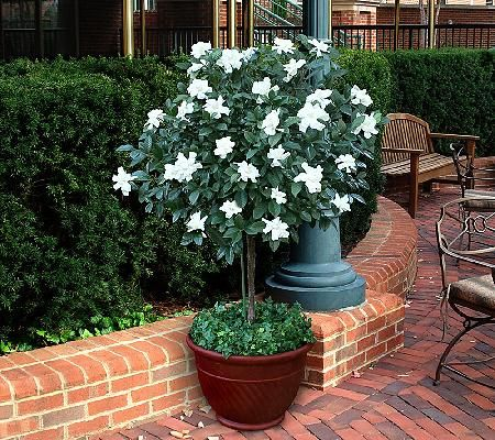 Cottage Farms Double Blooming Gardenia Patio Tree Qvc Com Patio Trees Porch Plants Topiary Trees
