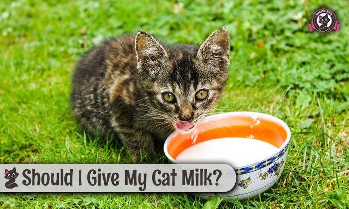 Should I Give My Cat Milk Sweetie Kitty 2020 Cat Drinking Cats Tabby Cat
