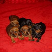 Dachshunds Puppies For Sale For Sale In Dorset South West