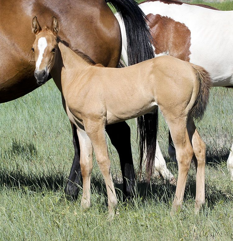 Buckskin Firewaterontherocks Granddaughter for Sale - Aus Ranch Performance Horses