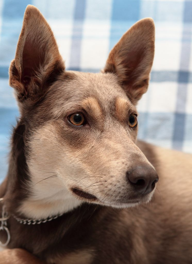 30 Days of Gratitude- Day 15   Australian kelpie dog