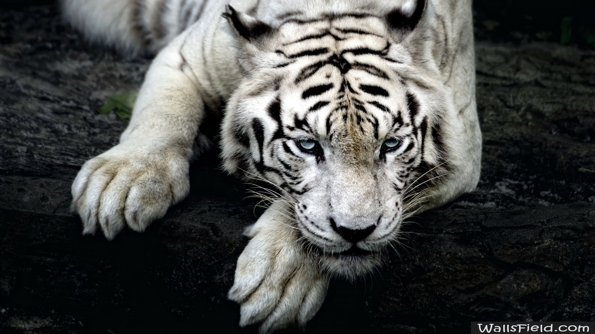 White Tiger Wallsfield Com Free Hd Wallpapers Tiger Wallpaper Iphone Tiger Wallpaper Pet Tiger