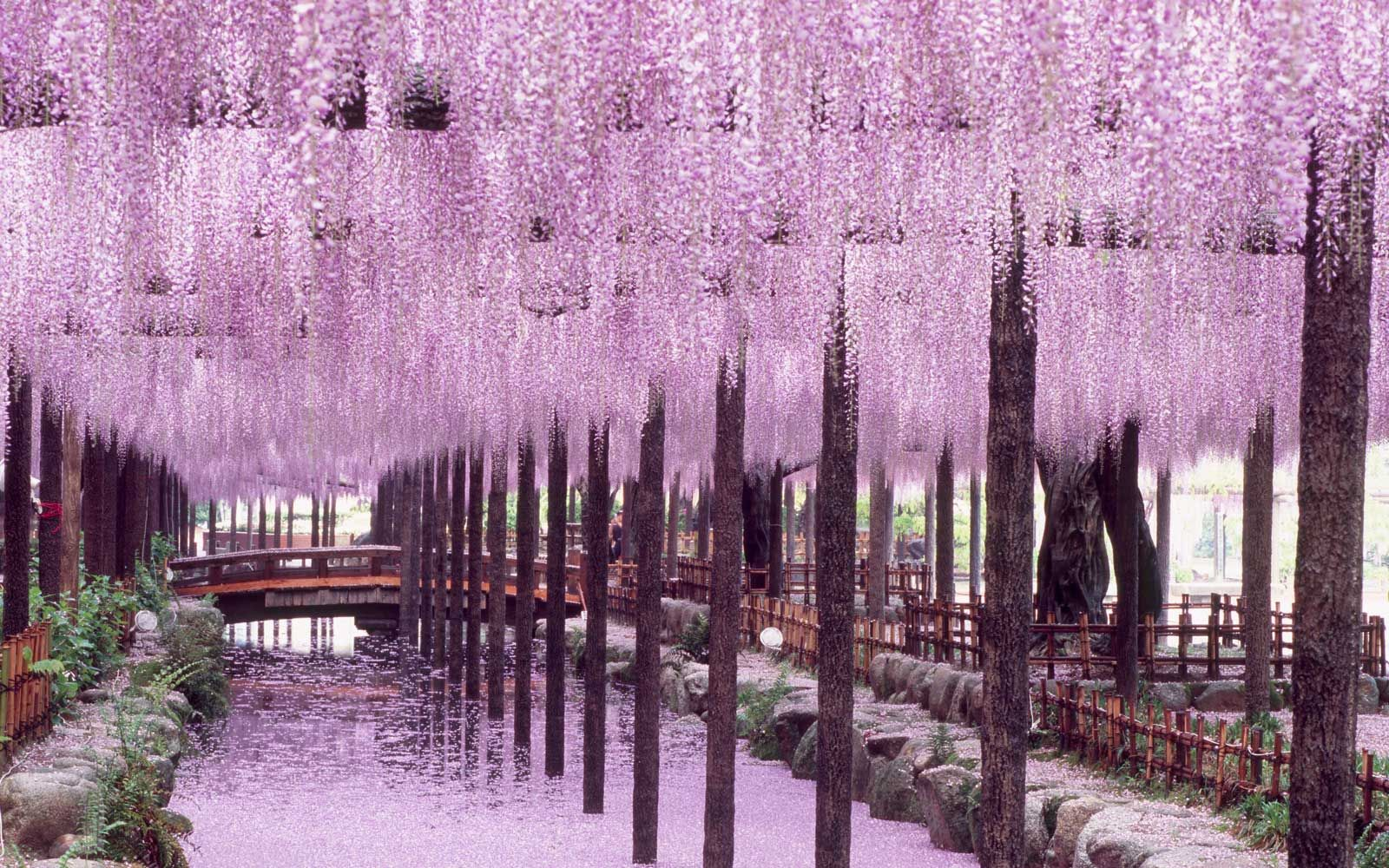 Japan S Wisteria Tunnels Are Even More Magical Than Its Cherry Blossoms Here S Where To See The Be Wisteria Tunnel Wisteria Tunnel Japan Cherry Blossom Japan