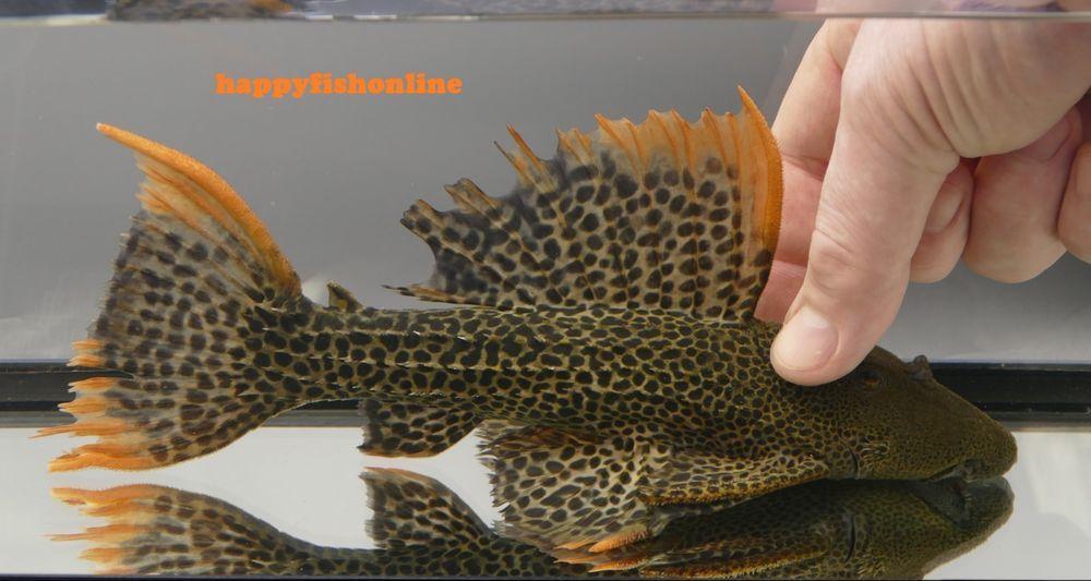 Very Rare L600 Lda07 Leopard Cactus Pleco Fantastic Fish With Great Color Plecostomus Catfish Tropical Fish