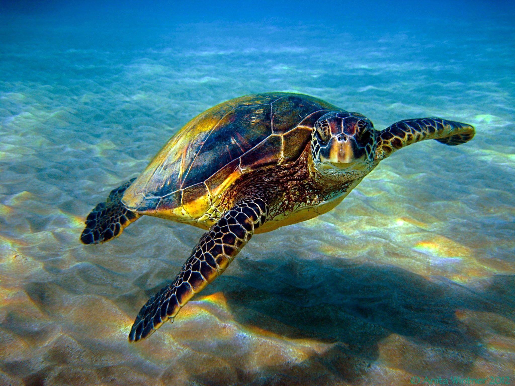 Turtle Free Desktop Wallpaper Downloads Sea Turtle Sea Turtle Species Turtle Images