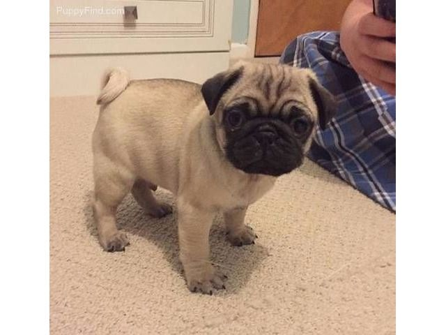 Female Pug For Adoption Pugs For Adoption Pug Puppies Pug Puppies For Sale