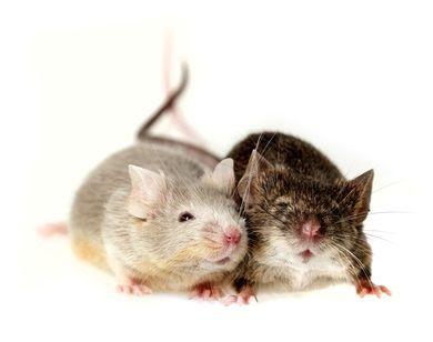 comment se dbarrasser des souris dans une maison ajoutezy lhuile essentielle deucalyptus versez. Black Bedroom Furniture Sets. Home Design Ideas