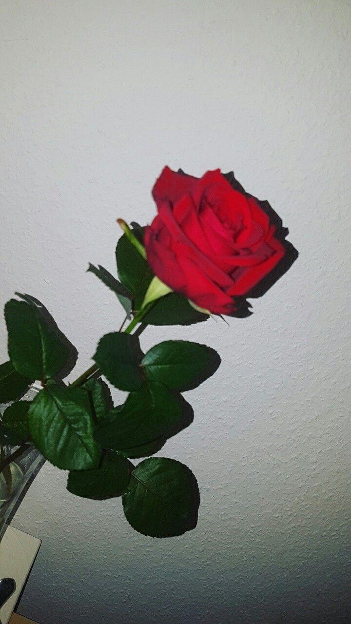 pin bellaxlovee ☆ Rosas vermelhas, Roses tumblr, Rosas