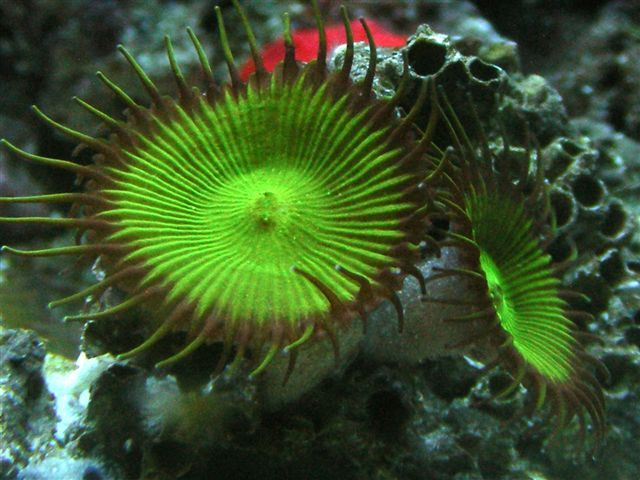 Green Button Polyp Soft Corals Corals For Sale Polyp Coral